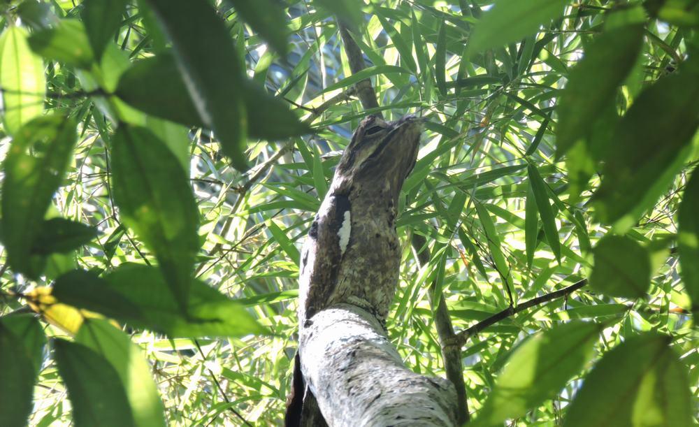 Urutau en el Parque nacional Iguazu