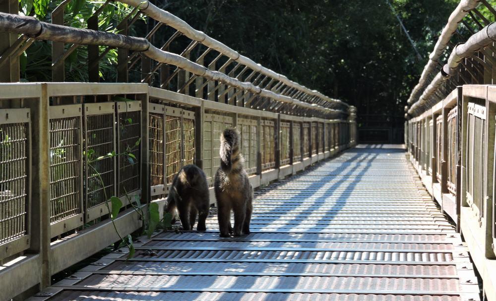 Cuatíes en el Parque nacional Iguazu
